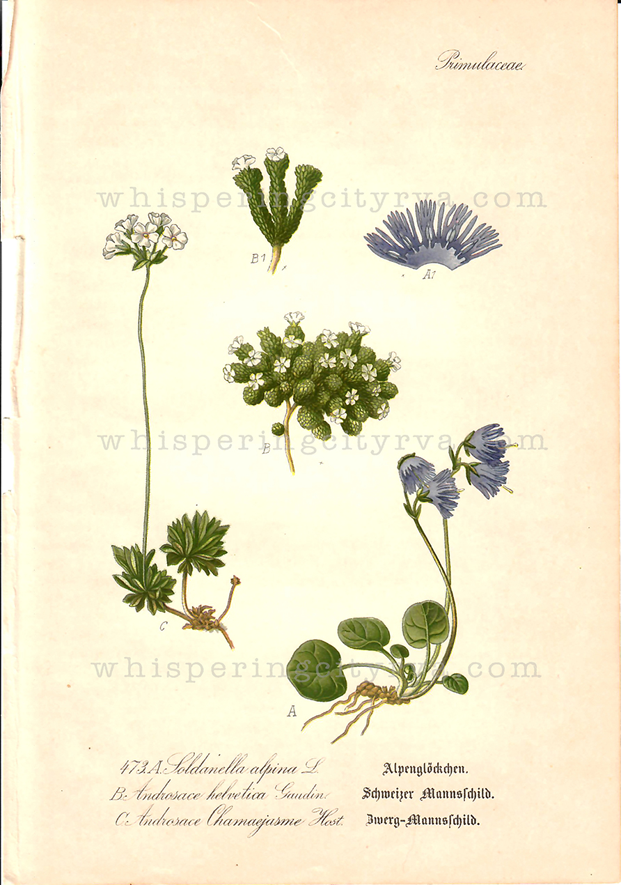 1903 Antique Botanical Chromolithograph – Alpine Snowbell – Thome | Whispering City RVA