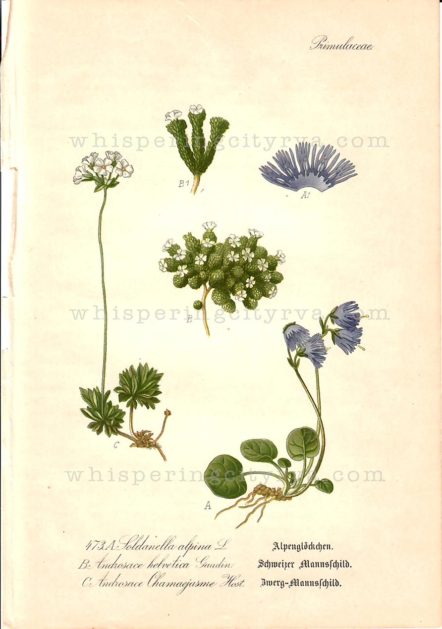 Antique Thome Flora von Deutschland Chromolithograph Book Page at Whispering City RVA