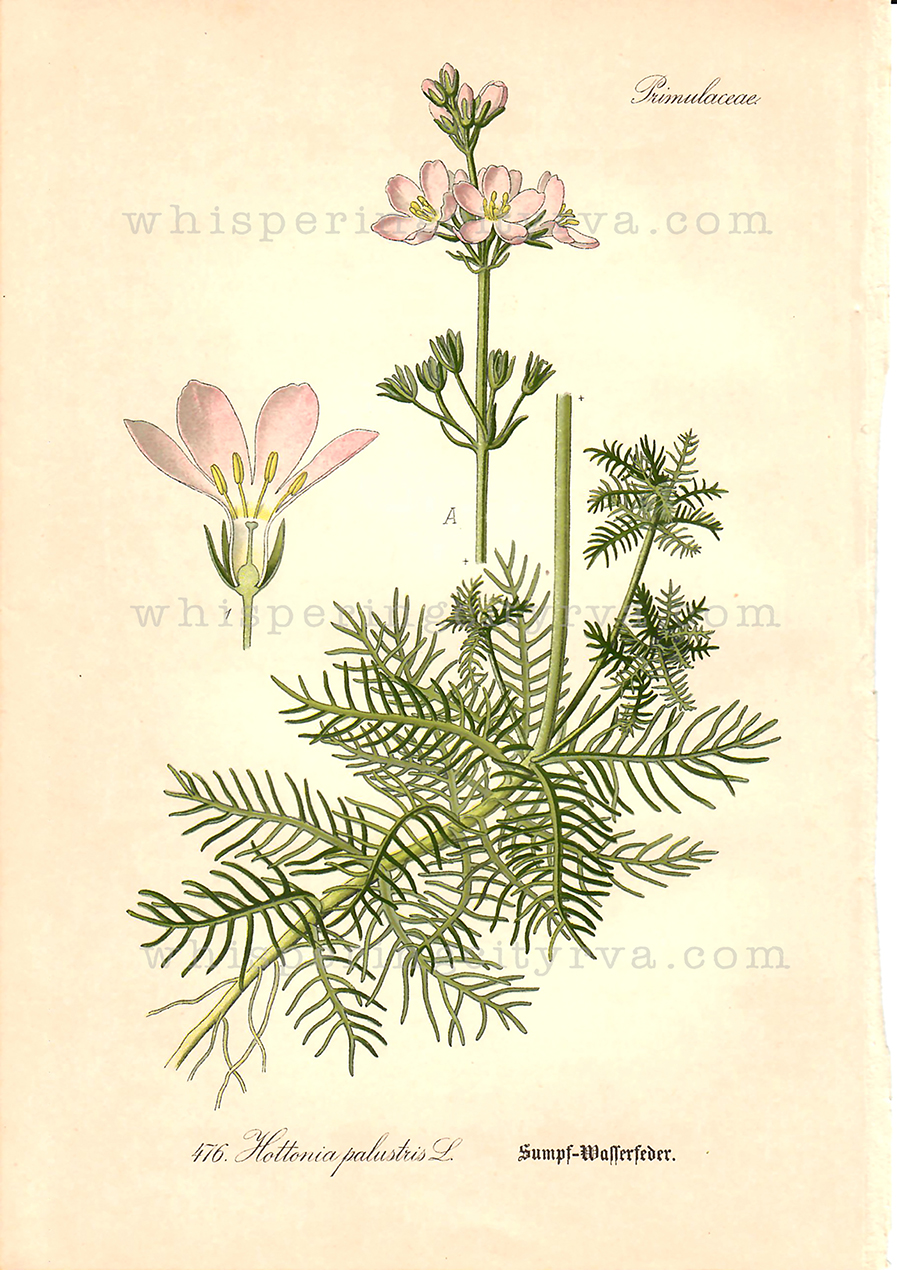 1903 Antique Botanical Chromolithograph – Water Violet – Thome | Whispering City RVA
