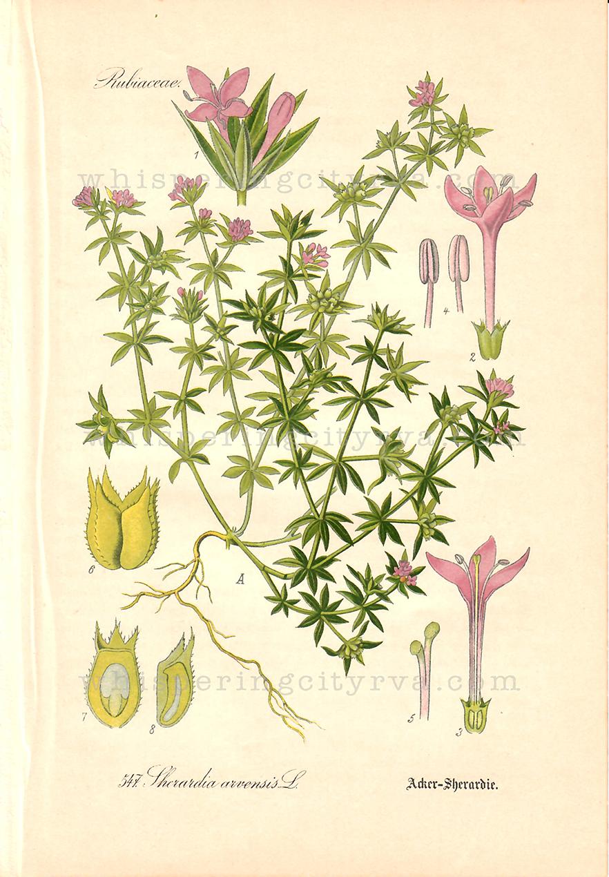 1903 Antique Botanical Chromolithograph – Madder Flower – Thome | Whispering City RVA